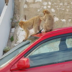 gibraltar monkeys